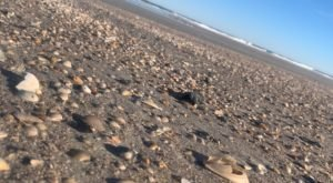 Thousands Of Sea Shells Cover The Tybee Island Beaches With No Tourists Around