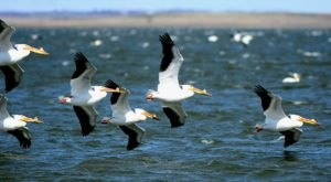 The World's Largest Colony Of White Pelicans Have Returned To North Dakota For Nesting Season