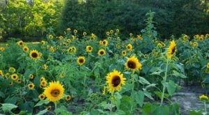 Get Lost In 10,000 Beautiful Sunflowers At Coastal Ridge Farm In Mississippi