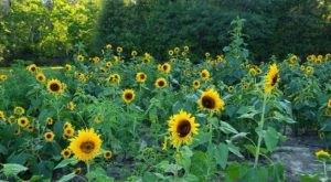 Get Lost In 10,000 Beautiful Sunflowers At Coastal Ridge Farm In Mississippi