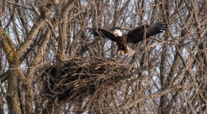 With More Than 700 Nests Reported In 2020, The Bald Eagle Is Officially Making A Comeback In Ohio
