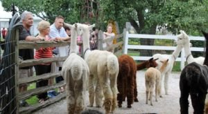 You Can Drink Wine With Alpacas At LondonDairy Alpaca Ranch In Wisconsin