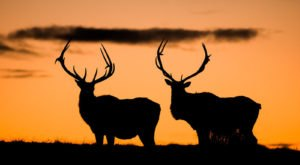 Follow A Self-Guided Driving Tour Through A Conservation Area In Missouri To Spot Elk In Their Natural Habitat