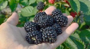 The Iconic Oregon Marionberry Didn't Even Exist Until 1948