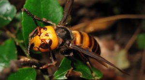 Giant Murder Hornets Are Invading Washington (Sorry)