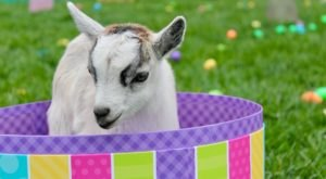 Tune Into Clark's Elioak Farm In Maryland As They Livestream Baby Goats For Your Quarantine Entertainment