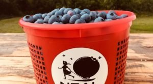 Enjoy Mouthfuls Of Freshly Picked Blueberries At Neal Family Farm, An Arkansas Staple