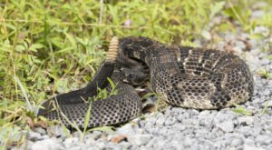 Watch Your Step, More Rattlesnakes Are Emerging From Their Dens Around Virginia