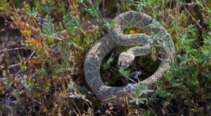 Watch Your Step, More Rattlesnakes Are Emerging From Their Dens Around Northern California