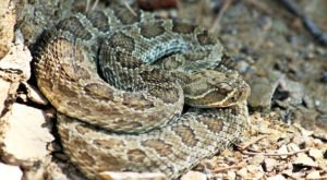 Watch Your Step, More Rattlesnakes Are Emerging From Their Dens Around Idaho