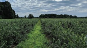 Take Home Delicious Organic Blueberries By The Pound From Adams Farms In Michigan