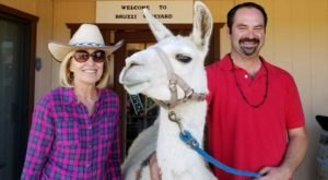 You Can Drink Wine With Llamas At Bruzzi Vineyard In Arizona