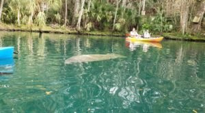 Paddle With Manatees In Crystal Clear Spring Water At Weeki Wachee Springs State Park In Florida
