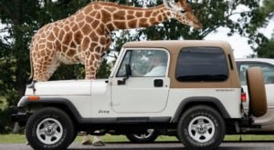 Enjoy A Fun Family Day Trip To These Drive-Thru Zoos In New Jersey