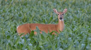 Here's How You Can Do Your Part To Combat Chronic Wasting Disease, A Deer Disease On The Rise In Minnesota