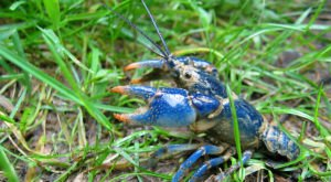 A New, Blue And Rare Species Of Crayfish Was Recently Discovered In Ohio