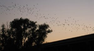 Up To 250,000 Bats Flock To The Yolo Causeway In Northern California Every Summer