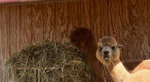 Take The Whole Family To Pet Alpacas At Good Karma Ranch In North Carolina