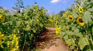 Wander Through A Sunflower Maze At Goldpetal Farms In Maryland