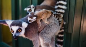 Take The Whole Family To Feed Monkeys And Lemurs At Bee City In South Carolina