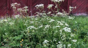 Poison Hemlock Is Blooming In Nebraska And Here's What You Need To Know
