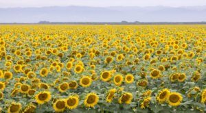 A Visit To Northern California's Roadside Sunflower Fields Will Brighten Up Your Summer