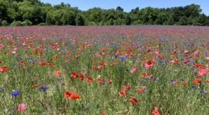Step Into Another World When You Visit This Whimsical 4-Acre Poppy Field In West Michigan