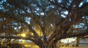 Walk Along The Largest Banyan Tree In Hawaii At Lahaina Banyan Court Park