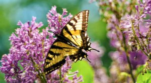 Every Summer, Hundred Of Butterflies Visit Kirkwood Gardens In New Hampshire And It's A Surreal Sight