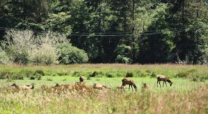 See How Many Majestic Elk You Can Spot At The Elk Meadow Picnic Area In Northern California