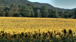 Step Into Another World When You Visit This Whimsical Sunflower Field In Tennessee