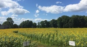 Enjoy Flavorful Ice Cream Among Fields Of Vibrant Sunflowers At Buttonwood Farm In Connecticut