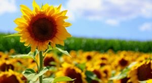 The Sunflower Festival At Creek Bed Country Farmacy In Wisconsin Is The Bright Spot Your Summer Needs