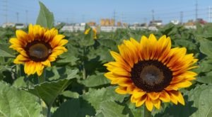 The Sunflowers Are Blooming At Cross E Ranch In Utah, And You've Got To See Them