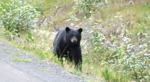 Be On The Lookout, Black Bear Sightings In Oklahoma Are On The Rise