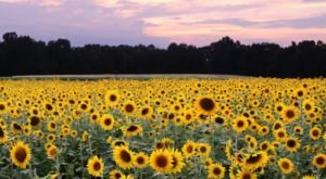 As The Crow Flies Is An Arkansas Antique Shop With Its Very Own Unexpected And Gorgeous Sunflower Field