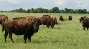 Watch Bison Graze On This Two-Mile Guided Hike At Prairie State Park In Missouri