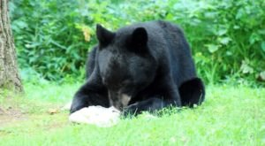 An Increase In Black Bear Sightings In Pennsylvania Lead Experts To Believe More People Are Home To See Them