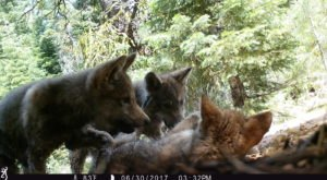 Northern California's Only Family Of Wolves, The Lassen Wolf Pack, Just Had Eight New Pups