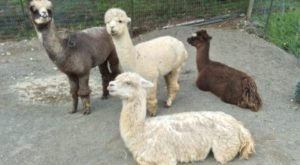 You Can Go Camping With Alpacas At Paca Pride Guest Ranch In Washington