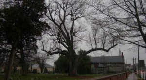 New Jersey's George Washington Sycamore Tree Is One Of The Oldest Living Things In America