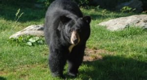 An Increase In Black Bear Sightings Along The Coast Leads Experts To Believe They Are Moving Out Of Natural Habitats In South Carolina