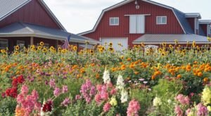 Get Lost In Thousands Of Beautiful Sunflowers And Other Blooms At Van Houtte Farms Near Detroit
