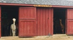 Hope Alpaca Farm In Rhode Island Makes For A Fun Family Day Trip