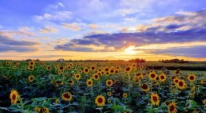 The Sunflower Festival At Kansas Maze Is The Bright Spot Your Summer Needs