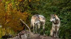 Howl With The Wolves At Wolf Park In Indiana When You Visit In The Evening