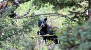 An Increase In Black Bear Sightings Lead Experts To Believe They Are Coming Back To Kansas