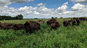 Travel To Blue Mounds State Park On Minnesota's Southwestern Prairie To See Where The Buffalo Still Roam