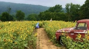 You'll Be Surrounded By Thousands Of Flowers On New Jersey's Delightful Sunflower Trail