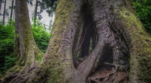 It's A Short, Easy Stroll To The 300-Year-Old Cathedral Tree In Oregon